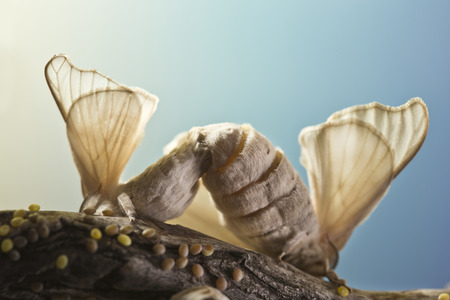 reproducing: two silk butterfly cocoon are reproducing themselves Stock Photo