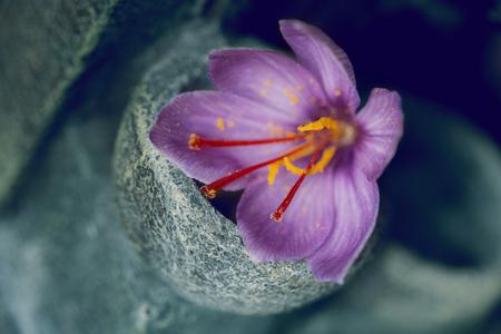 One saffron flower out focus, focus in saffron types Standard-Bild