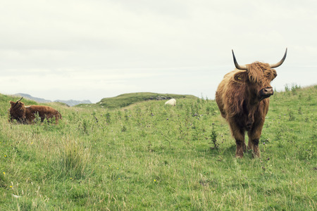 two Scottish cow in green grass, Stock Photo