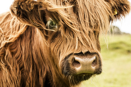 Scottish cow in green grass,