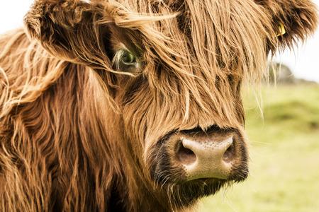 Scottish cow in green grass,