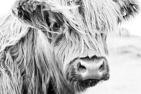 Schotse koe in groen gras, Stockfoto