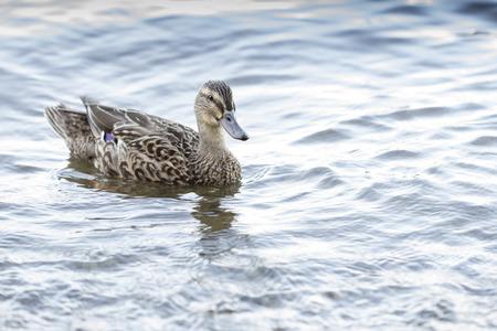 savage mallard duck female, floating on the lake