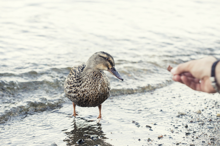 duck feeding from the hand