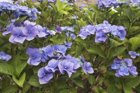 Closeup of blue hydrangea (Hydrangea macrophylla) in a garden.