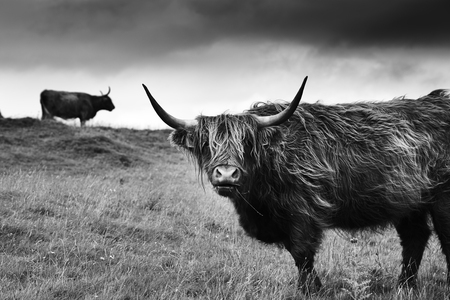 Hairy scottish highlander in natural scape on a cloudy day in white and black