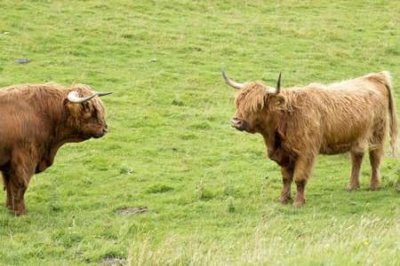 Scottish cow of the highlands with long horns, longhaired. Scotland, Great Britain