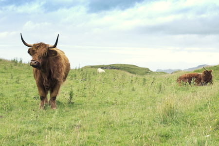 two Scottish cows of the highlands with long horns Reklamní fotografie