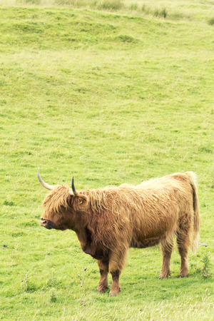 Scottish cow of the highlands with long horns with copy space, longhaired. Scotland, Great Britain