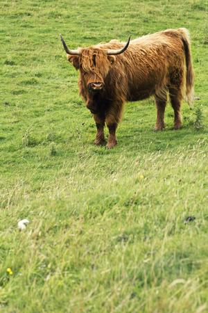 Schottische Kuh des Hochlands mit langen Hörnern mit Kopierraum, langhaarig. Schottland, Großbritannien Standard-Bild