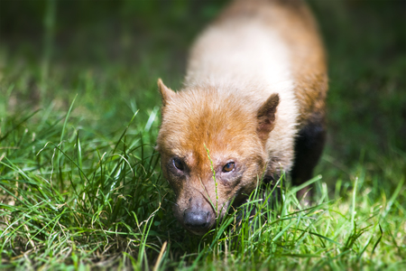 The bush dog (Speothos venaticus). Canid found in Central and South America.