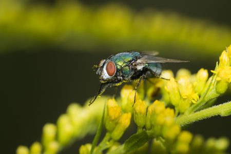 Macro photo of a fly. The housefly, Musca domestica, is a fly of the suborder Cyclorrhapha