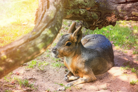 The Patagonian mara (Dolichotis patagonum), a relatively large rodent. Head of a Patagonian Mara
