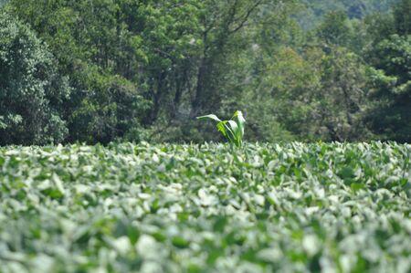 corn in a field 版權商用圖片