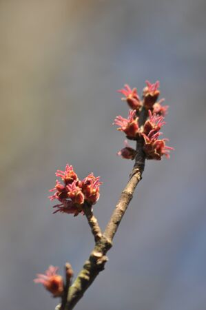 Tree Leaf Buds