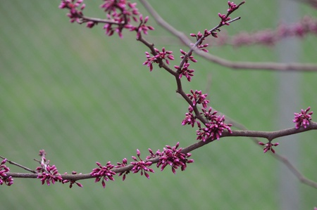 redbud tree: American Redbud Tree Stock Photo