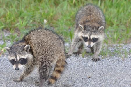 raccoons: Baby Raccoons