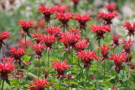 bee on flower: Bee Balm Flowers