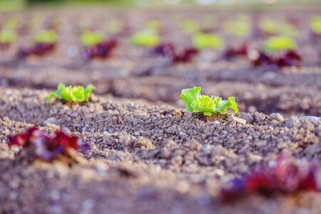 Young green and red salad on an agriculture field