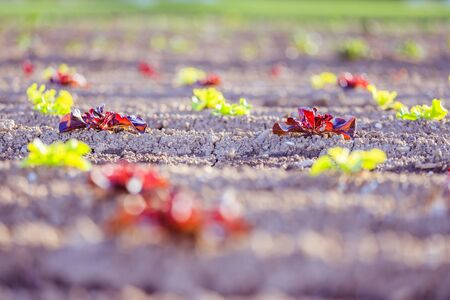 Young green and red salad on an agriculture field Banque d'images