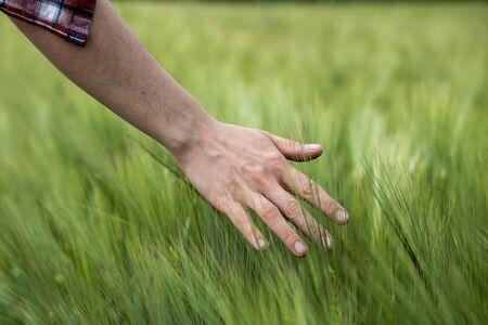 Farmer hand touching wheat fresh green wheat ears. Cornfield in spring.