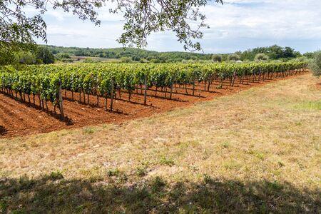 Ripe vine grapes on a farm in Croatia