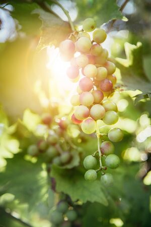 Close up of vine grapes in Italy, Sunshine