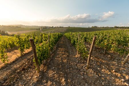 Beautiful scenery of a vine farm in Tuscany, grapevine in the evening sun