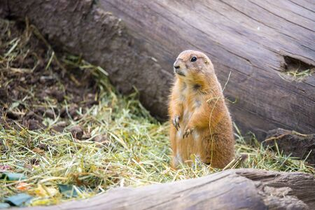 Close up picture of a prairie dog in the Zoo