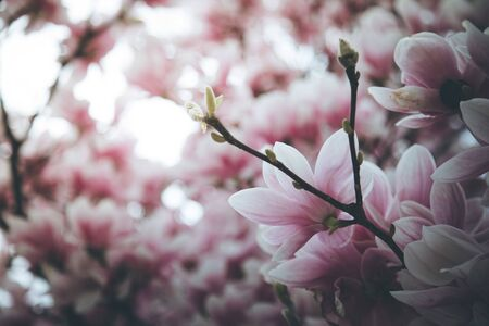 Fresh beautiful magnolia blossoms, springtime. Pink and white colors.