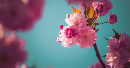 关闭桃红色开花的樱花的图片,拷贝空间