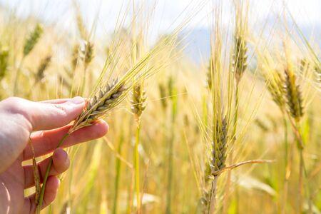 Farmer touching an ear of wheat at sunset Stock fotó
