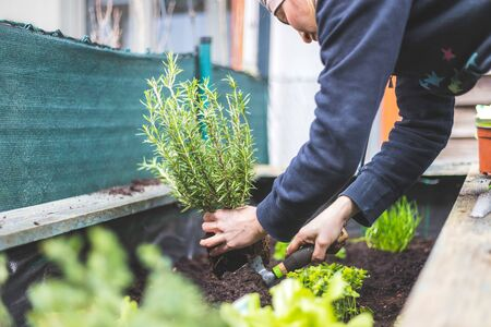 Woman is planting vegetables and herbs in raised bed. Fresh plants and soil. Rosmary