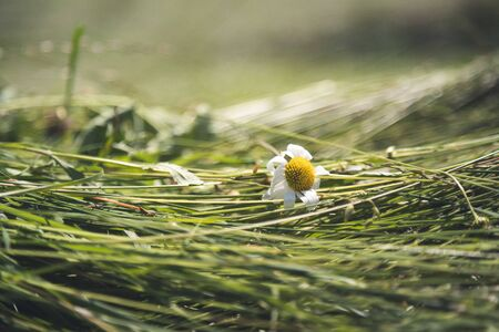 Fresh mowed hay on a meadow, countryside Stockfoto