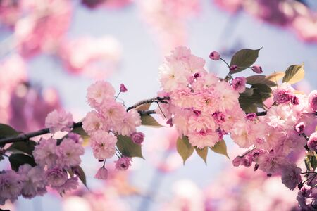 Close up picture of pink blooming cherry blossoms