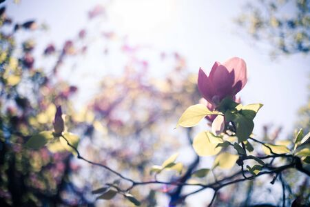 Close up picture of pink blooming magnolia blossoms