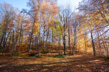 Beautiful forest in autumn, bright sunny day with colorful leaves on the floor