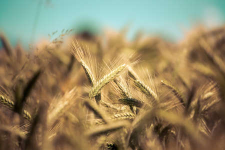 Close up of ripe ears of wheat in autumn