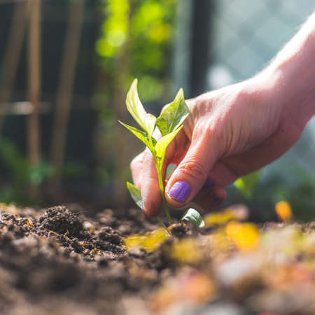 Hands planting a young fresh seedling in the ground