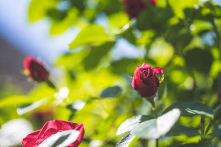 Close up picture of red roses in the own garden, spring time