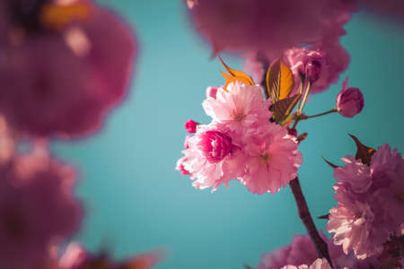 Close up picture of pink blooming cherry blossoms, copy space