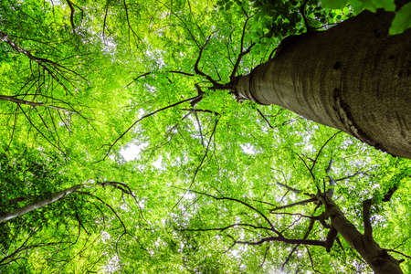 Bottom view of impressive spruce trees in the forest. Spring time. Фото со стока