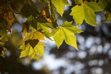 Green maple leaves in summer, beautiful bokeh