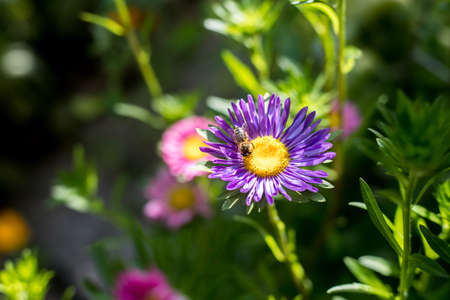 Close up of a bee on a violet aster in the own garden Standard-Bild