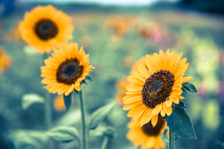 Beautiful yellow sunflowers on an agriculture field, summer time