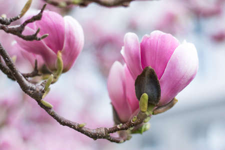 Beautiful magnolia blossom in a park, spring