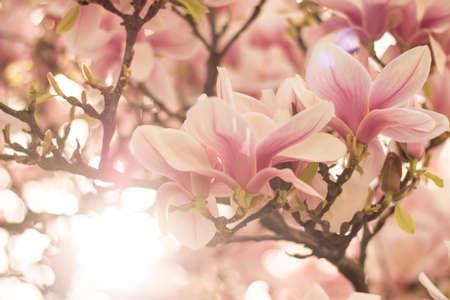 Beautiful magnolia blossom in a park, spring, sunshine Standard-Bild