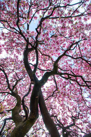 Beautiful magnolia tree in a park, spring