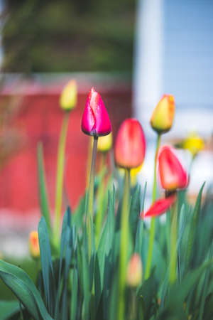 Beautiful spring time flower scenery with colorful blossoms and tulips