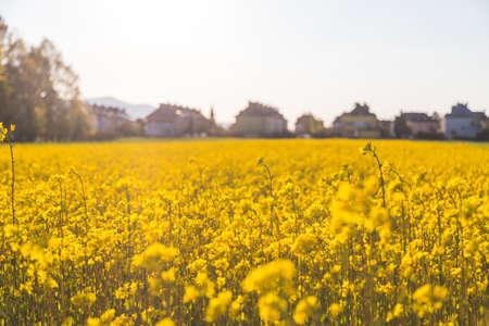 Canola field scenery at sundown, blooming ears